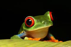 Red-eyed tree frog (Agalychnis callidryas) (edward.evans) Tags: redeyedtreefrog phyllomedusinae agalychnis agalychniscallidryas leaffrog treefrog frog amphibian hylidae guayacánrainforestreserve guayacan crarc siquirres costarica rainforest wildlife nature centralamerica latinamerica costaricanamphibianresearchcenter