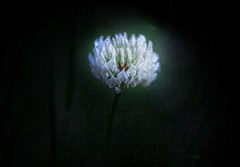 Alone ... Clover flower (Julie Greg) Tags: clover nature texture colours light fujifilmxt20 park details macro