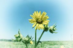 Standing on the Prairie (kendoman26) Tags: flower nachusagrasslands hss happyslidersunday nikcoloreffex4pro sonyalpha sonya58 sonyslta58 sigma1850f2845