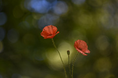 Pipacs (Papaver rhoeas) (Torok_Bea) Tags: heliosm44 pipacs papaverrhoeas helios helioslens bokeh heliosbokeh manuallens manual flowers flower nikon nikond7200 d7200 sunset naplemente