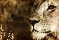 Rebelle et sauvage... (Sabine-Barras) Tags: afrique africa namibie namibia wildlife animal lion detail détail portrait sépia sepia monochrome