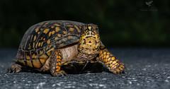 ROADTURTLE!!!!!!!! (AnthonyVanSchoor) Tags: anthonyvanschoor maryland usa roadturtle nikond7100 tamron howardcountymd