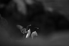 Razorbill (Daniel Trim) Tags: alca torda razorbill with prey ireland saltee great islands sea bird seabird colony nature wildlife animals photography