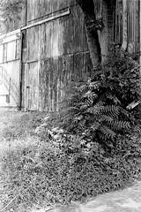 Tree (jhunter!) Tags: kodaktrix contaxg2 rodinal