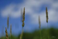fleurs_escarpement__DSF6588 (J-P Rioux) Tags: nature helios442 jprioux fujifilm escarpement