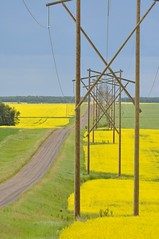 July 1, 2018 (Jeannette Greaves) Tags: 2018 canadaday hydro lines does road canola field trees swof deerwood manitoba twins cmwdyellow