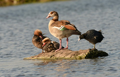 """Shared space (Ratsiola) Tags: birds nature environment water wildlife pochards egyptian goose geese coot """"natural world"""""""