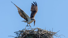 Osprey leaving nest with leftover (miro_mtl) Tags: balbuzardpêcheur d7200 grenvillesurlarouge harrington laurentides nikon nikond7200 outdoors pandionhaliaetus tamron tamronsp150600mm america amerique animals balbuzard bird birdofprey bluesky canada claws eating feathers fish fishing flight liberty nature nest oiseau oiseaudeproie osprey quebec raptor sky toes wildlife wings