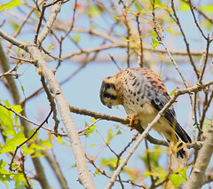 kestrel-32w (egdc211) Tags: connecticutbird connecticutbirds canon connecticutwildlife connecticutbirding connecticutbirdpix birdwatcher bird backyardbirding birds naturewatcher newenglandbird nature newenglandbirds newenglandwildlife newenglandwildlifephotography ornithology outdoors wildlife kestrel fledgling