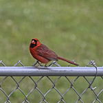 Male Cardinal-HFF! thumbnail