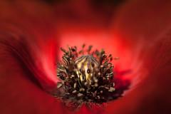 Poppy - klaproos (de_frakke) Tags: coquelicot klaproos bloem rood poppy flower nature