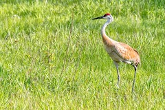 2017 Sandhill Crane (DrLensCap) Tags: sandhill crane ledge road horicon marsh national wildlife refuge waupun wisconsin wi bird robert kramer