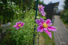 20180519_150546_02_v1L_4K+ (jmi.eck) Tags: clématite fleur jardin printemps flower garden spring pentaxk1 irix15mmf24blackstone bokeh sunny aficionados simplysuperb