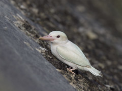 White-collared Kingfisher (leucistic) _ East Coast Park (mahi mahi 163) Tags: kingfisher 600mm singapore