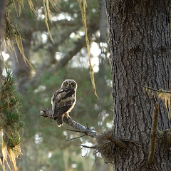 Next gen (Marc Briggs) Tags: dsc3192dw owl greathornedowl bubovirginianus bubo bird raptor animal wild wildlife wildlifephotography woods forest sansimeon