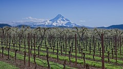 Mt Hood Vineyard Orchard 7372 A (jim.choate59) Tags: jchoate on1pics mthood hoodriveroregon landscape vineyard orchard rural agriculture trees vines fence mountain springtime d610