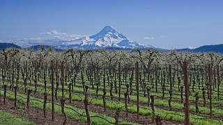 Mt Hood Vineyard Orchard 7372 A