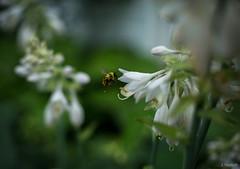 pollen (Jen MacNeill) Tags: garden gardening summer pollen flower flowers plant bee bees pollinator nature