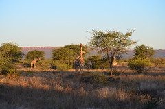 DSC_3525 (Andrew Nakamura) Tags: namibia otjiwarongo projectdragonfly earthexpeditions waterbergconservancy cheetahconservationfund animal wildlife giraffe giraffidae mammal ungulate gamecount