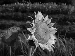 Sunflower (odeleapple) Tags: olympus e5 zuiko digital 1122mm zd sunflower monochrome bw