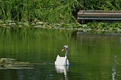 1489-08L (Lozarithm) Tags: caenhill devizes wilts swans k5 pentax sigma zoom 70300 sigmaaf70300mmf456apodgmacro
