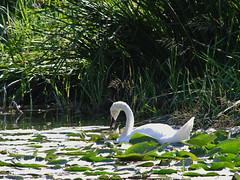 1489-04L (Lozarithm) Tags: caenhill devizes wilts swans k5 pentax sigma zoom 70300 sigmaaf70300mmf456apodgmacro