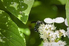 A Tiny Potter Wasp On Hydrangea (Modkuse) Tags: wasp potterwasp garden flowers hydrangea macro macrophotography macrolens macroflower macroflowers macroinsects nikon nikond700 nikondslr 105mm 105mmf28nikkormacro nikon105mmf28macronikkor nikonmacro nikonmacrophotography macrowasp