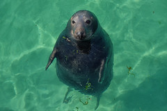 Sammy Seal (toasterjones) Tags: seal sammyseal kernow cornwall pasty icecream smeatonspier tate holiday swimming beach coast seagull paddle creamtea fishandchips fuji velvia clearsea