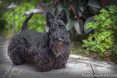 20180716  Sideyard Maggie 16213-Edit (Laurie2123) Tags: ddc ddc2018 dailydogchallenge fujixt2 fujinonxf56mmf12 laurieturnerphotography laurietakespics laurie2123 maggie missmaggie scottie scottishterrier backyard blackscottishterrier blackdog home 100xthe2018edition 100x2018 image34100