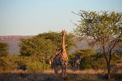 DSC_3510 (Andrew Nakamura) Tags: namibia otjiwarongo projectdragonfly earthexpeditions waterbergconservancy cheetahconservationfund animal wildlife giraffe giraffidae mammal ungulate gamecount