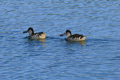 Pink Eared Ducks (Rodger1943) Tags: ducks pinkearedducks australianbirds faunainmotion fz1000