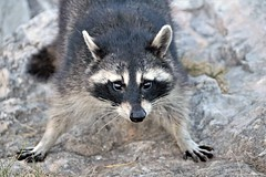 Here Comes Trouble (marylee.agnew) Tags: raccoon trouble urban mammal close mask playful nature wildlife bandit
