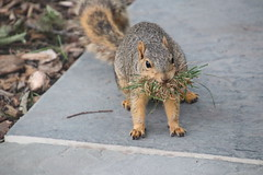 Squirrels in Ann Arbor at the University of Michigan (July 20th, 2018) (cseeman) Tags: gobluesquirrels squirrels annarbor michigan animal campus universityofmichigan umsquirrels07202018 summer eating peanut julyumsquirrel foxsquirrels easternfoxsquirrels michiganfoxsquirrels universityofmichiganfoxsquirrels