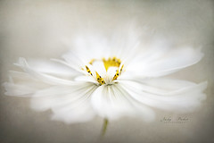 Purity (Jacky Parker Flower Photography) Tags: cosmos flower white summerflower summergarden summerflowering closeup selectivefocus floatypetals fresh pure softness beautyinnature horizontalformat outdoors nopeople