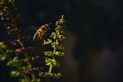 Flying Bee (Alberto Gonzalez Roges) Tags: bee pollen flower insect macro flight