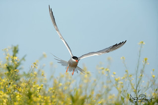common tern incoming