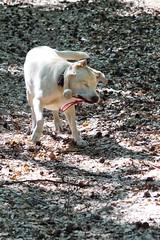 Iva (glaserei) Tags: hunde hund haustier iva labrador labi goldie retriever