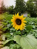 Cloudy Day Sunshine (obsequies) Tags: sunflower sunflowers garden gardening gardener flower flowers whimsy whimsical minifarm homestead country life love yellow petals mood moody food grow growing summer fall autumn harvest canada manitoba seasons gothgarden grunge daily forest pumpkinpatch pumpkins leaves