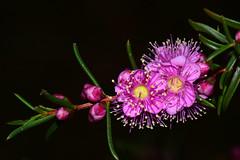 Swan River Myrtle (jeans_Photos) Tags: hypocalymmarobustum hypocalymma swanrivermyrtle greenmountnationalpark darlington westernaustralia myrtaceae