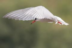 Still Moving (Andrew_Leggett) Tags: commontern sternahirundo hover hovering bird closeup inflight blur movement nature natural wildlife wild