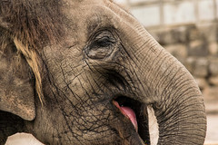 Laughter is the most beautiful way to create wrinkles (marionrosengarten) Tags: challenge juli natur elefant tierpark berlin elephant animal zoo asianelephant elephasmaximus portrait face laughter smile lachen gesicht nikon zoom