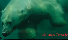 _MG_0320 (Minuca1) Tags: osopolar polarbear rotterdamzoo