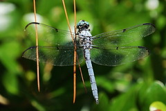 ...hang on (Jim Atkins Sr) Tags: easternpondhawkdragonfly easternpondhawk commonpondhawk dragonfly insect closeup macro erythemissimplicicollis fairfieldharbour northcarolina