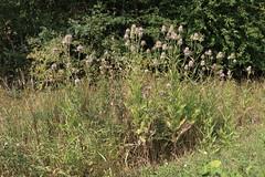Dipsacus fullonum, Wilde Karde (julia_HalleFotoFan) Tags: dipsacusfullonum wildekarde karden dipsacus geisblattgewächse kardengewächse