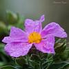 DSC09859 (Ezzo33) Tags: france gironde nouvelleaquitaine bordeaux ezzo33 nammour ezzat sony rx10m3 parc jardin fleur fleurs flower flowers mauve rose mallow