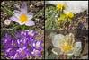 Spring is comming (atranswe) Tags: dsc4dsc4082 dsc4083 dsc4085 dsc4087082 dsc4087 helleborus julros erantis vintergäck crocus krokus yellow gul purple lila pink rosa atranswe