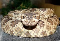 Rattlesnake Friday! (EcoSnake) Tags: rs4 greatbasinrattlesnake crotalusoreganuslutosus snakes reptiles education