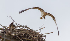 Leaving With A Fish (John Kocijanski) Tags: osprey bird birdofprey raptor animals nest wildlife nature canon70300mmllens canon7d