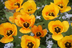 IMG_7258 (Ben936) Tags: flowers plant flora colourful tulip yellow petals stigma stamen