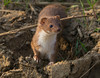 Stoat 20-04-2018 Hollesley Marshes_F8A8131 (nick5943) Tags: